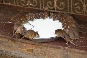 Đừng hoảng sợ nếu có chuột trong nhà! Chỉ cần nửa bát gạo là có thể quét sạch toàn bộ lũ chuột trong nhà, rất an toàn và không độc hại