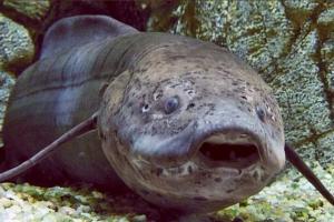 Cá phổi châu Phi có thể ẩn mình trong lòng đất vài năm mà không ăn uống, nhưng không thể trốn khỏi sự khai quật của con người